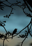 Little bee-eater silhouette royalty free stock photos