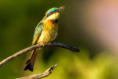 Little Bee Eater Royalty Free Stock Images