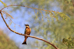 The Little Bee-eater Stock Image