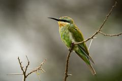 Little bee-eater on thorny branch in profile stock image
