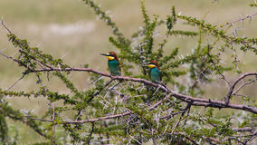 Little bee-eater on a thorny tree Stock Photo