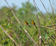 Little Bee-eaters Stock Image