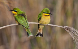 Little Bee-Eaters - Okavango Delta - Botswana. Two Little Bee-Eaters (Merops pusillus) in the Okavango Delta in Botswana Royalty Free Stock Photography
