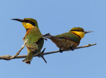 Little Bee-eaters Royalty Free Stock Images