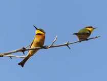 Little Bee-eaters Stock Photo