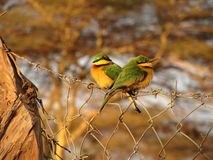 Little Bee-Eaters Royalty Free Stock Photo
