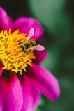 Little bee in garden, Russia Stock Image