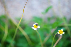 Little bee gathering honey. From blooming flower stock photo