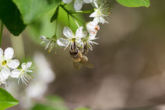 Little bee gathers nectar from white flower royalty free stock photo