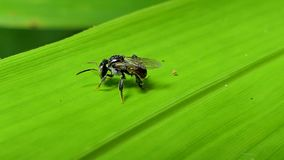 Little bee on green leaf. Little bee apis florea on green leaf in tropical rain forest stock footage