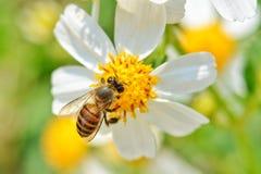 Little bee. On white flower stock photos