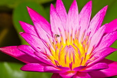 Little bee and lotus flower Royalty Free Stock Images