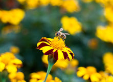 Little bee and marigold Stock Image