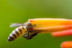 Little bee on orange flower Stock Photo