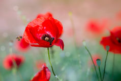 Little bee and poppies Stock Photo