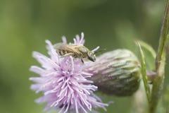 Little bee on the purple flower. Little wild bee on the purple flower royalty free stock images