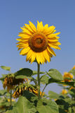 The little Bee sitting on the Sunflower Stock Images