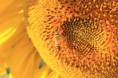 Sunflower and bee. Little bee and the sunflower Stock Images