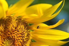 Little bee, tasting the sweetness of yellow sunflower. Royalty Free Stock Images