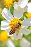 Little bee. On white flower stock photo