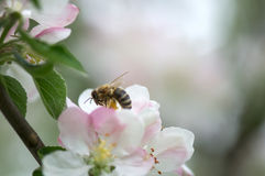 Little bee on white flower. Bee on flower fruit tree. Blur .Not in focus Royalty Free Stock Photography
