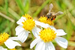 Little bee. On white flower stock image