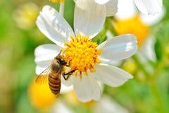 Little bee. On white flower stock images