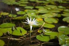 Little bee on wild white lotus Stock Photo