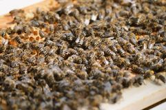 A little beekeeping. Beekeeping and taking care of bees at our little family farm royalty free stock photo