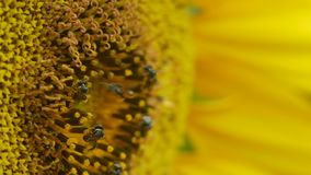 Little bees collect nectar from sunflower stock video footage