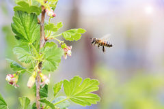 Little bees flying over flowering branches Royalty Free Stock Images