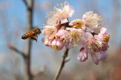Little bees took honey form pink Oriental cherry Stock Photo