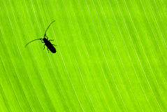 Little beetle on green background Stock Photography