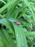 Little Beetle  Sitting On A Wet Leaf Royalty Free Stock Photo