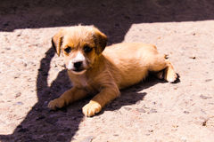 A little beige doggy. Lies in a court and warms up on a sun Royalty Free Stock Photo
