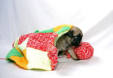 The little beige puppy Mopsa gets out from under a woolen plaid. Licking lips Stock Images