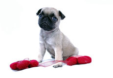 The little beige puppy Mopsa sits near a knitted red flower Royalty Free Stock Images