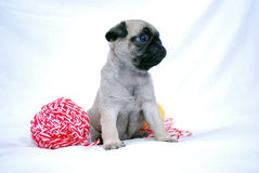 The little beige puppy Mopsa sits between two woolen balls of threads. On a white background Stock Photography