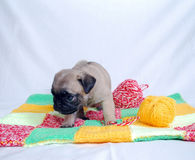 The little beige puppy Mopsa sits on a woolen plaid. With guilty a look Royalty Free Stock Photos
