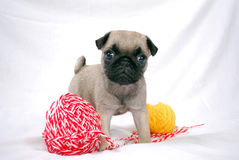 Little beige puppy Mopsa and threads. The beige puppy Mopsa costs between two woolen balls of threads Royalty Free Stock Photos