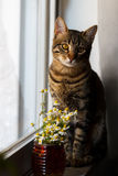 Little Bengal cat with daisy Royalty Free Stock Photo