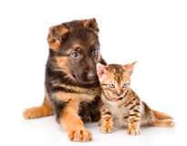 Little bengal cat and german shepherd puppy dog lying together. Isolated on white background Stock Images