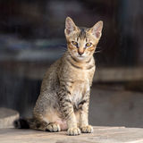 The little Bengal cat sitting on table and looking with great interest. Stock Photo