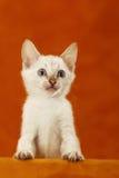 Little bengal kitten Stock Photo