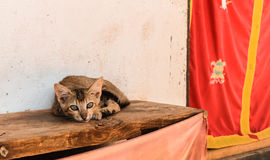 Little Bhutanese stray cat with green eyes lying on a wooden bench in a village in Bhutan. Stock Images