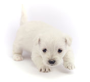 Little bichon puppy Stock Photo