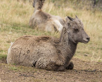 Little Big Horn Sheep. Young big horn sheep resting in the grass Royalty Free Stock Photo