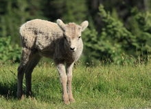 Little Bighorn Sheep stock images
