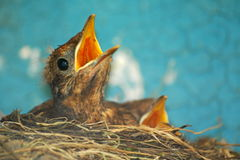 Little bird. Small baby bird of blackbird in the nest royalty free stock photo
