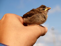 Little bird. Little newborn bird on hand Royalty Free Stock Photo